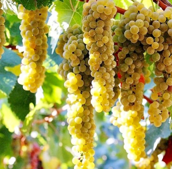 Best thing about autumn? Autumn colours. Grapes ripen and turn golden or ruddy. Can't wait to taste the fruit of this year when it's ready to bottle.