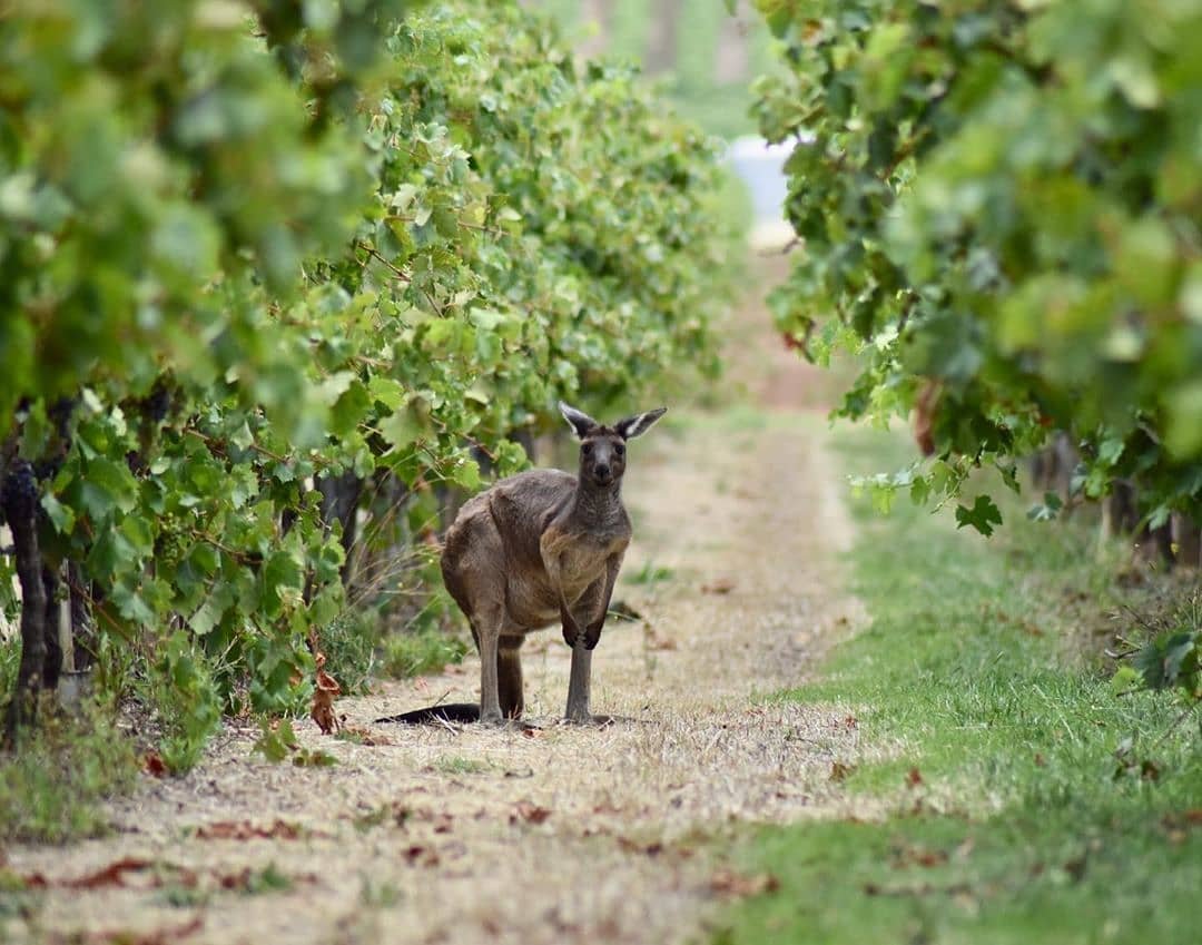 Funny looking rabbit! Keep an eye out for more information on our next Wine Tasting with Australia's youngest wine maker Charlie O'Brien of @silent_noise_wine with @theantipodeansommelier – details on the website & social soon @visitbath @walcotstreet #corkagebath #wine #winetasting #australianwine